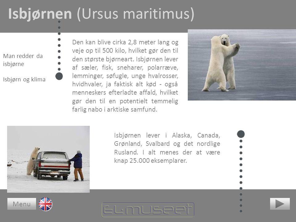 Isbjørnen (Ursus maritimus)