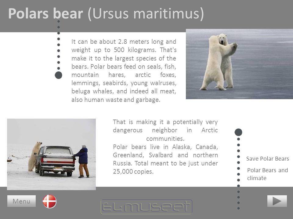 Polars bear (Ursus maritimus)