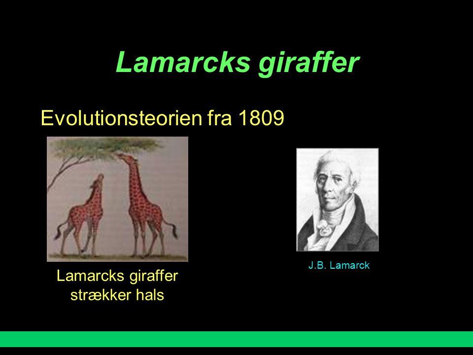 Lamarcks giraffer Evolutionsteorien fra 1809 Lamarcks giraffer