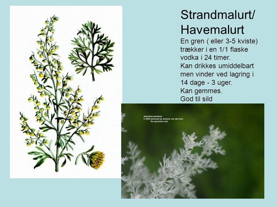 Strandmalurt/ Havemalurt En gren ( eller 3-5 kviste)