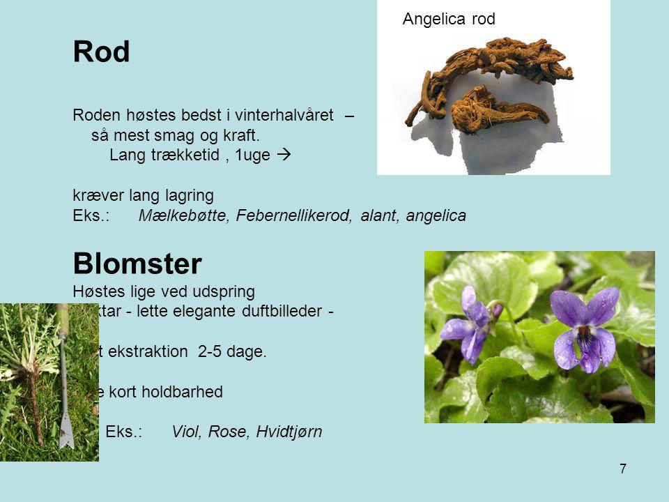 Rod Blomster Angelica rod Roden høstes bedst i vinterhalvåret –
