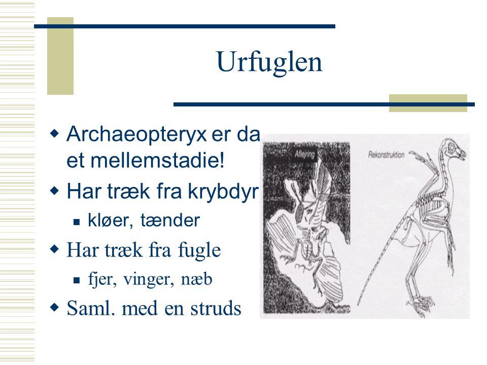 Urfuglen Archaeopteryx er da et mellemstadie! Har træk fra krybdyr