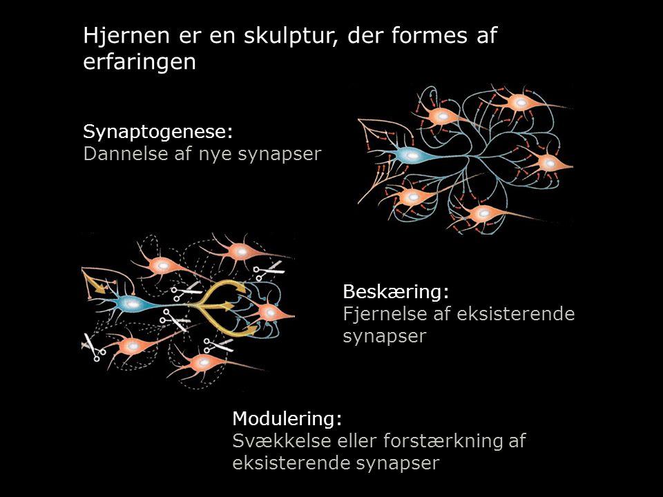Hjernen er en skulptur, der formes af erfaringen