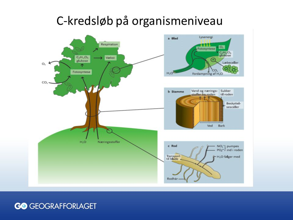 C-kredsløb på organismeniveau