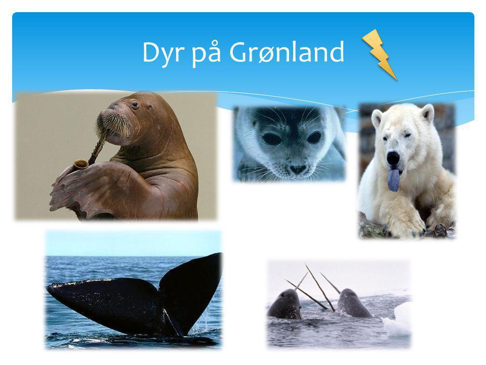 Dyr på Grønland