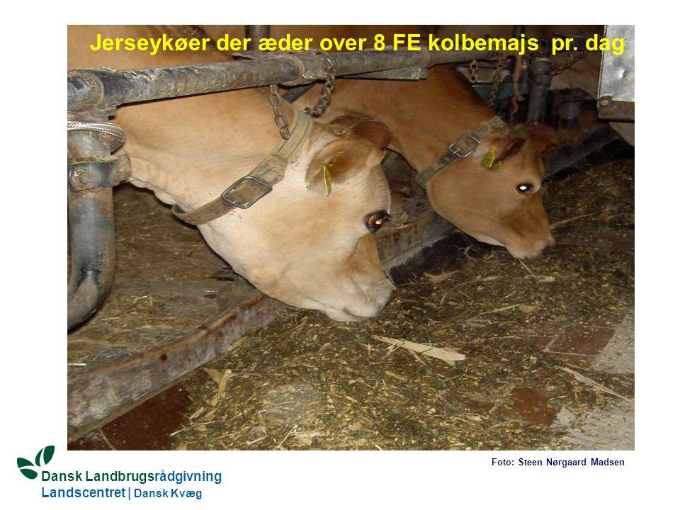 Jerseykøer der æder over 8 FE kolbemajs pr. dag