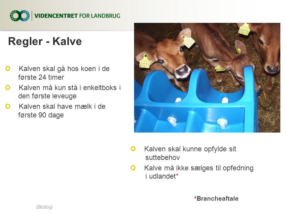 Regler - Kalve Kalven skal gå hos koen i de første 24 timer
