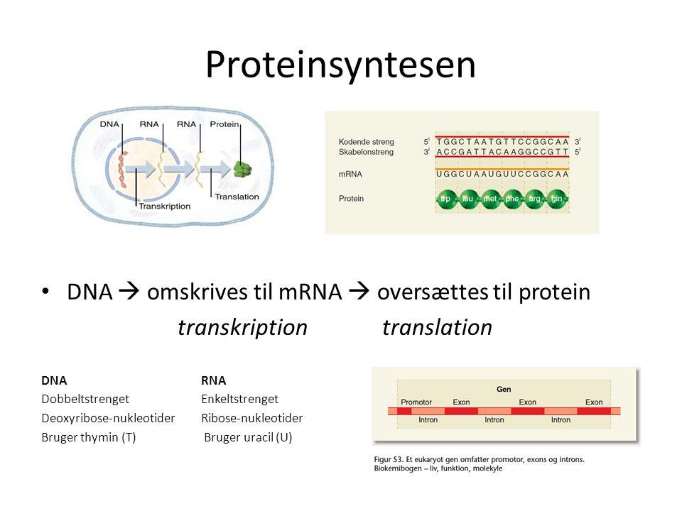 Proteinsyntesen DNA  omskrives til mRNA  oversættes til protein