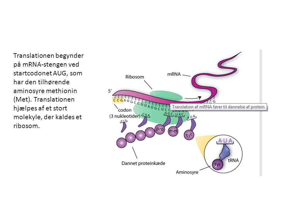 Translationen begynder på mRNA-stengen ved startcodonet AUG, som har den tilhørende aminosyre methionin (Met).