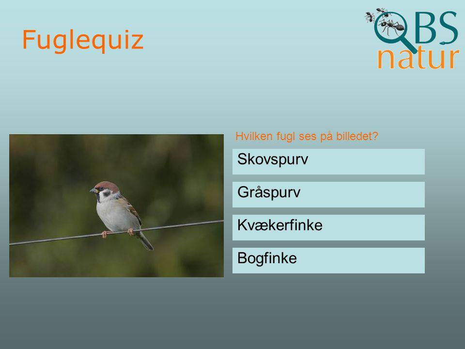 Fuglequiz Skovspurv Gråspurv Kvækerfinke Bogfinke