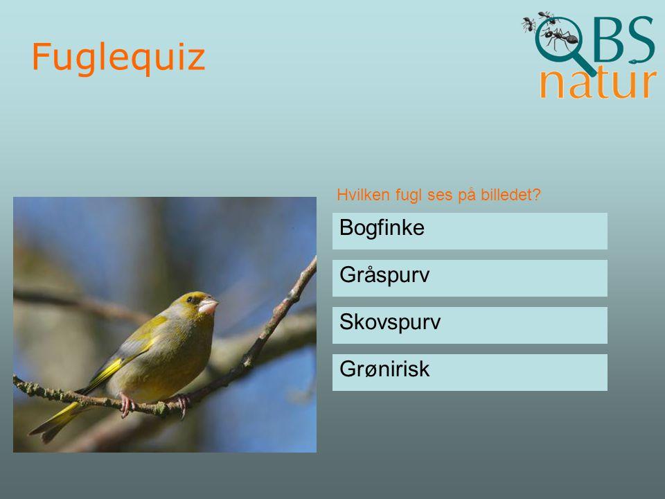Fuglequiz Bogfinke Gråspurv Skovspurv Grønirisk