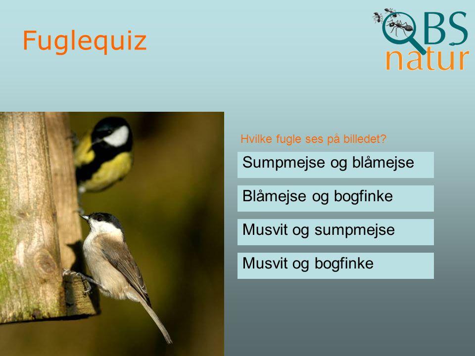 Fuglequiz Sumpmejse og blåmejse Blåmejse og bogfinke
