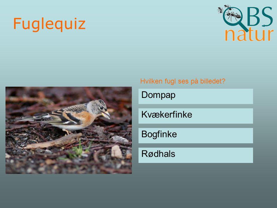 Fuglequiz Dompap Kvækerfinke Bogfinke Rødhals
