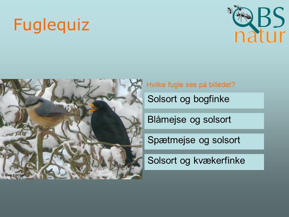 Fuglequiz Solsort og bogfinke Blåmejse og solsort Spætmejse og solsort