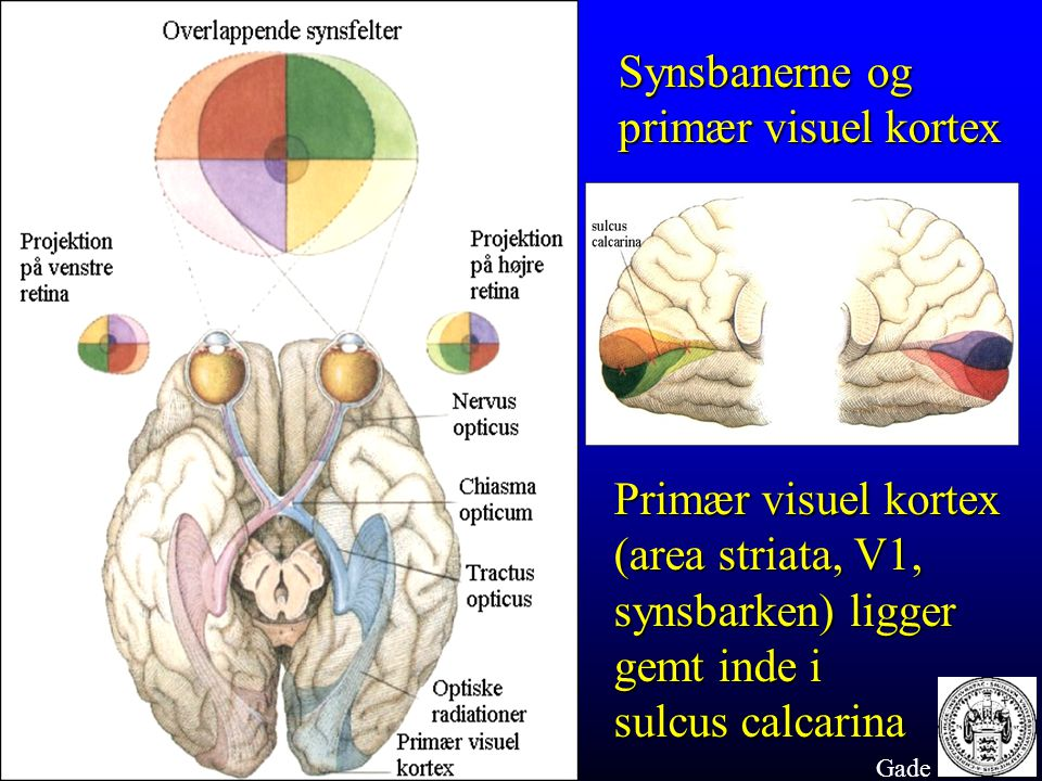 (area striata, V1, synsbarken) ligger gemt inde i