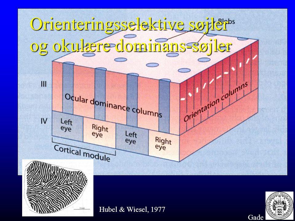 Orienteringsselektive søjler og okulære dominans-søjler