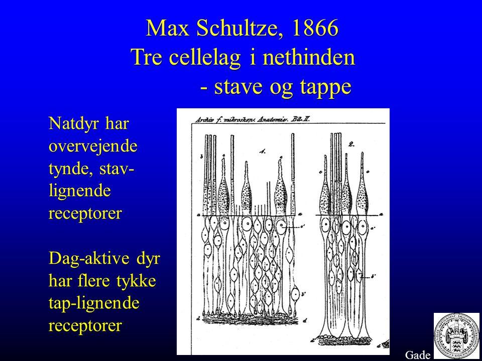 Max Schultze, 1866 Tre cellelag i nethinden - stave og tappe