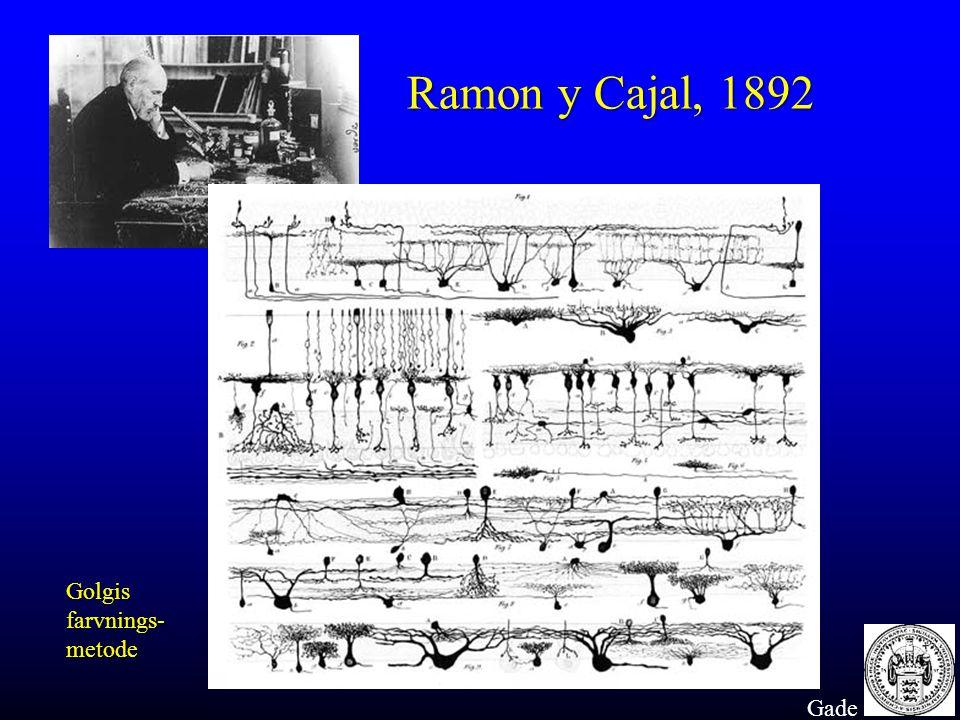 Ramon y Cajal, 1892 Golgis farvnings- metode Gade