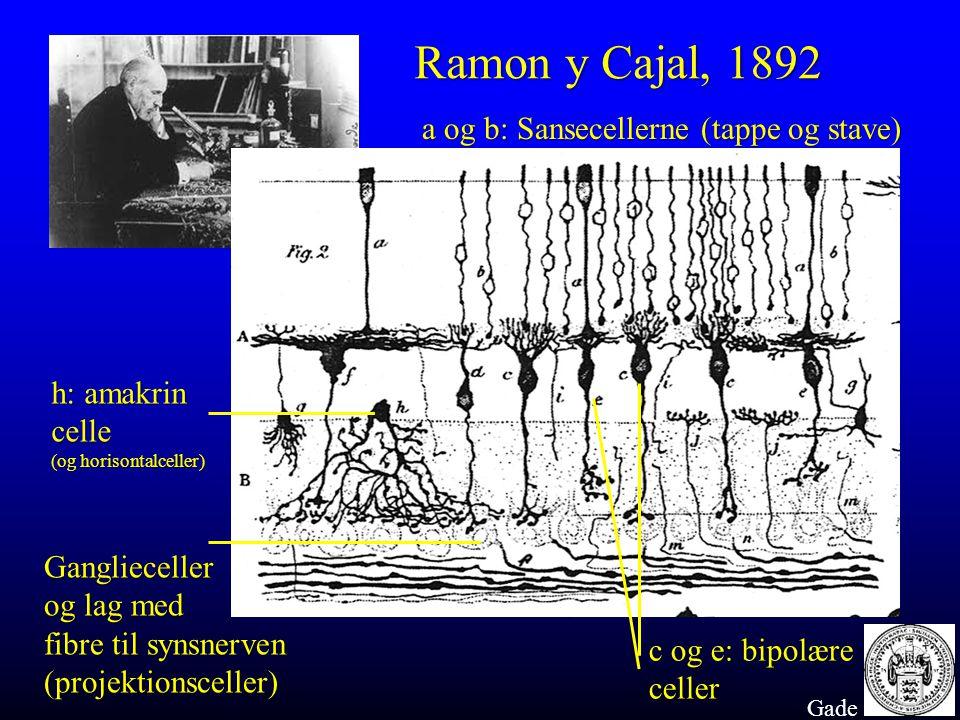 Ramon y Cajal, 1892 a og b: Sansecellerne (tappe og stave)