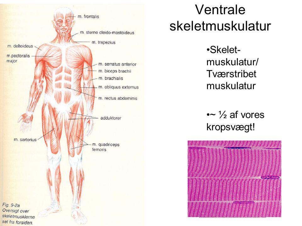 Ventrale skeletmuskulatur