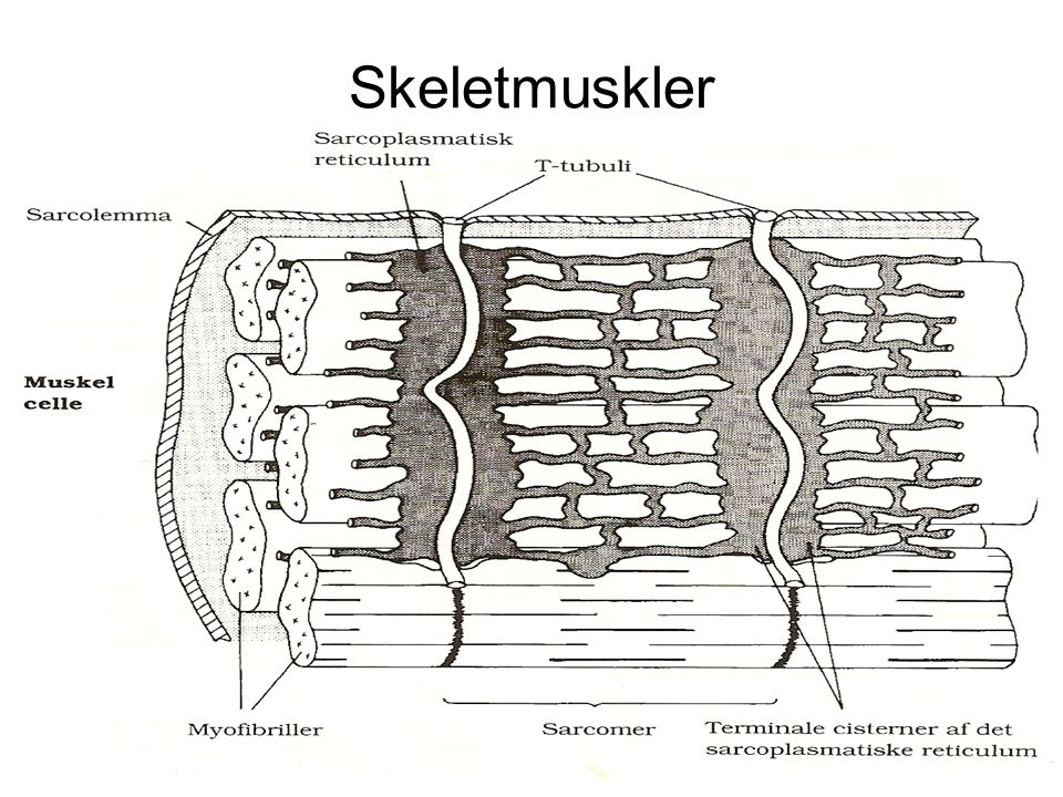 Skeletmuskler