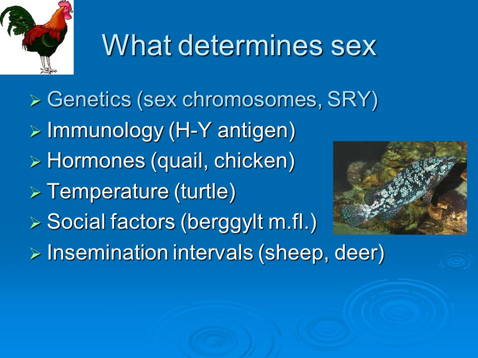 What determines sex Genetics (sex chromosomes, SRY)