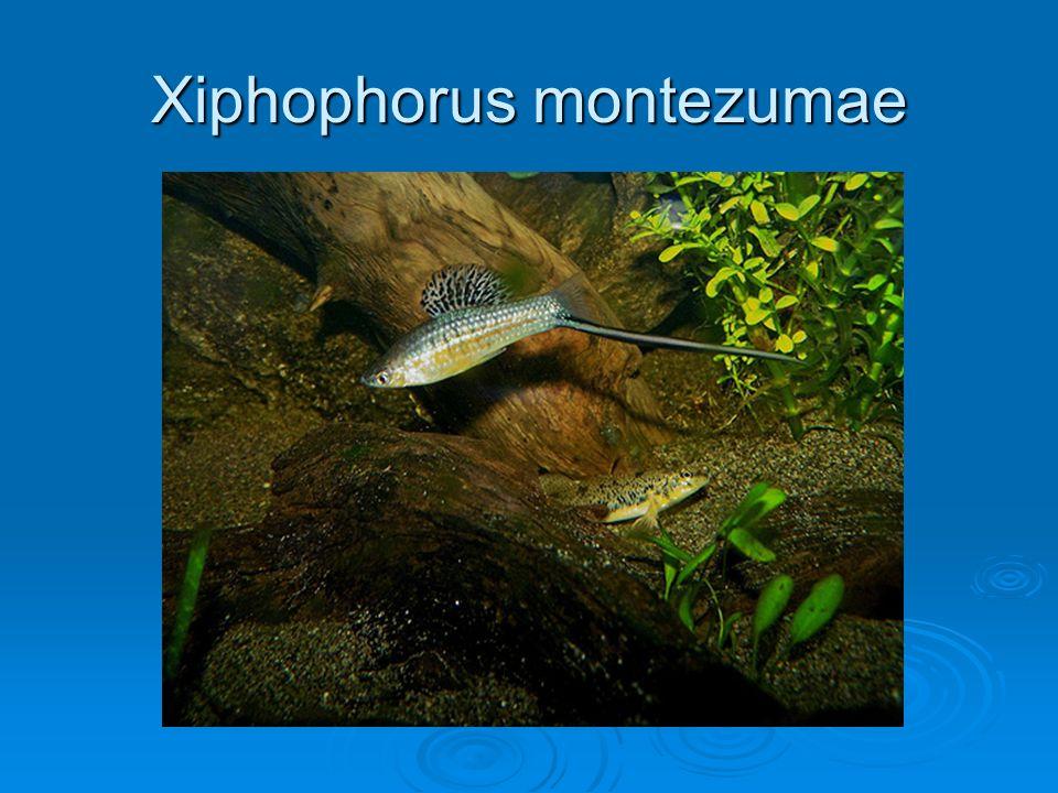 Xiphophorus montezumae