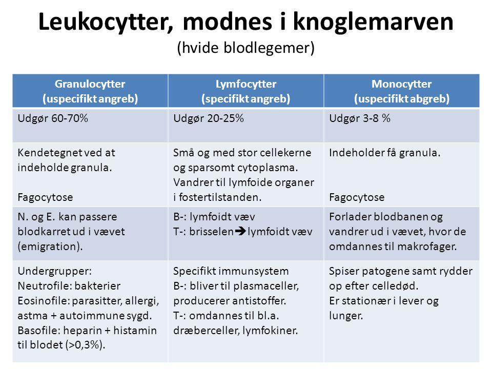 Leukocytter, modnes i knoglemarven (hvide blodlegemer)