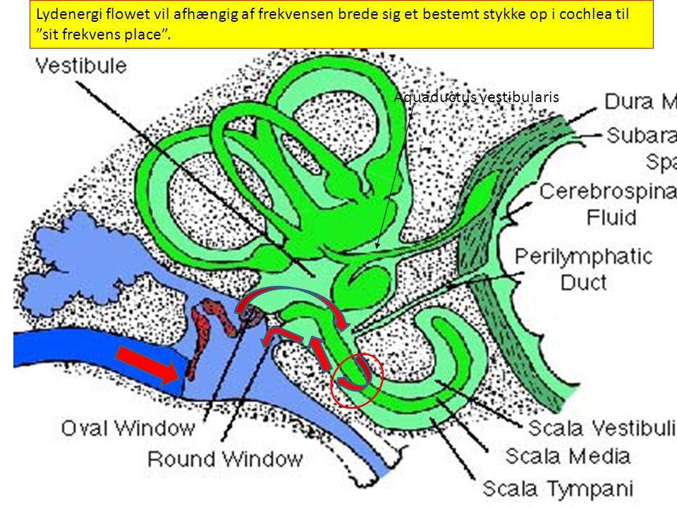 . Lydenergi flowet vil afhængig af frekvensen brede sig et bestemt stykke op i cochlea til sit frekvens place .