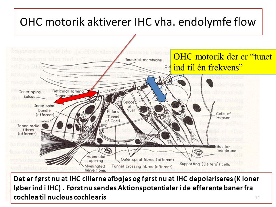 OHC motorik aktiverer IHC vha. endolymfe flow