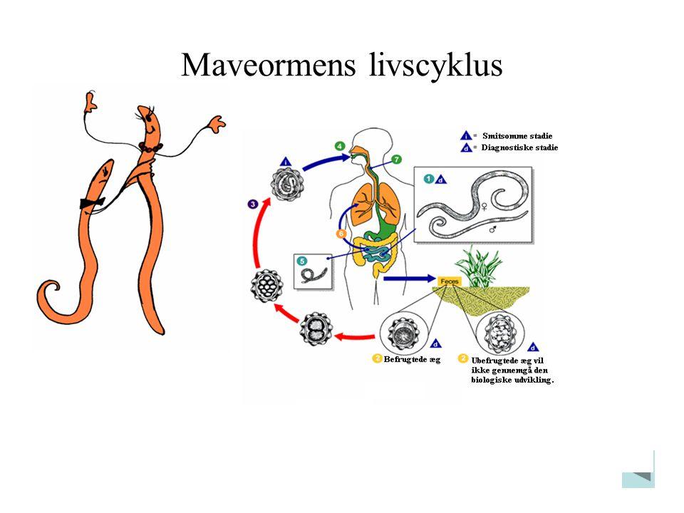 Maveormens livscyklus