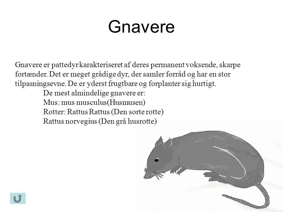 Gnavere