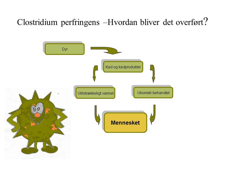 Clostridium perfringens –Hvordan bliver det overført