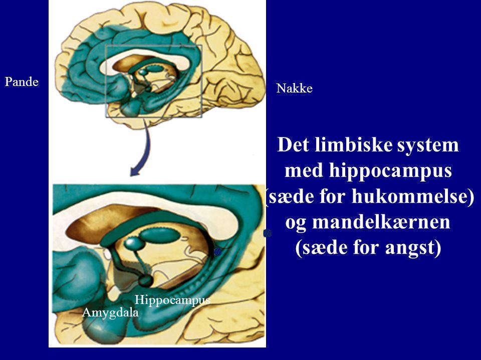 Pande Nakke. Det limbiske system med hippocampus (sæde for hukommelse) og mandelkærnen (sæde for angst)