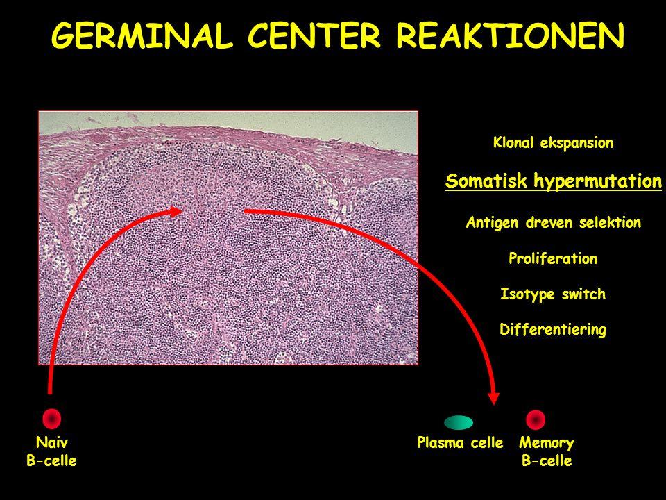 Somatisk hypermutation Antigen dreven selektion