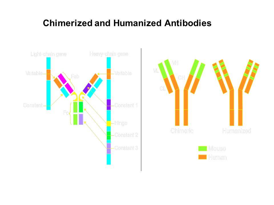 Chimerized and Humanized Antibodies