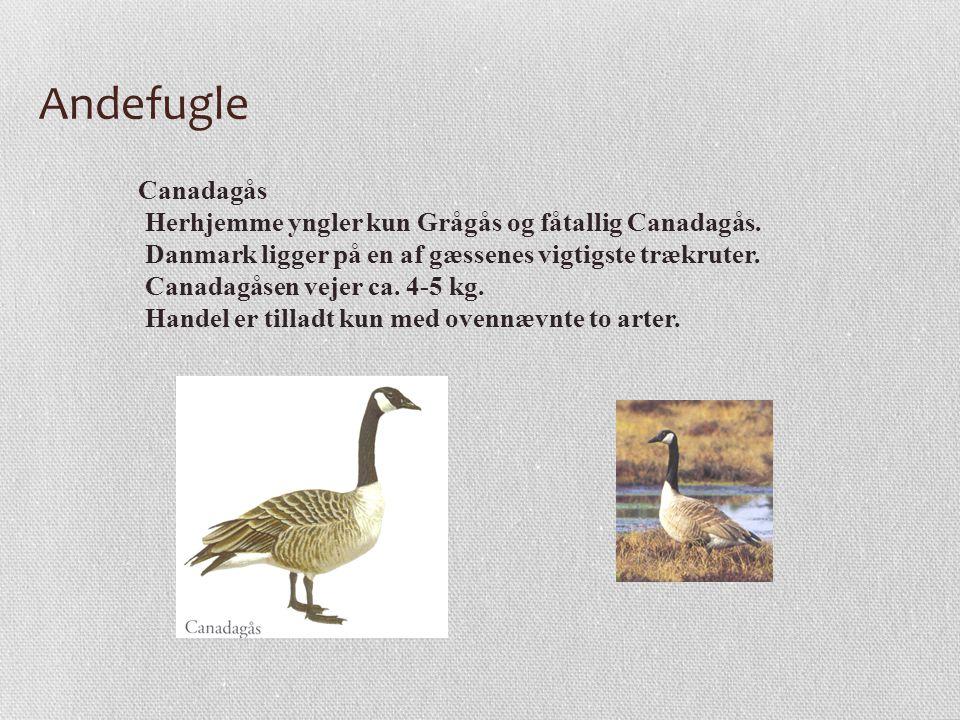 Andefugle Canadagås Herhjemme yngler kun Grågås og fåtallig Canadagås.