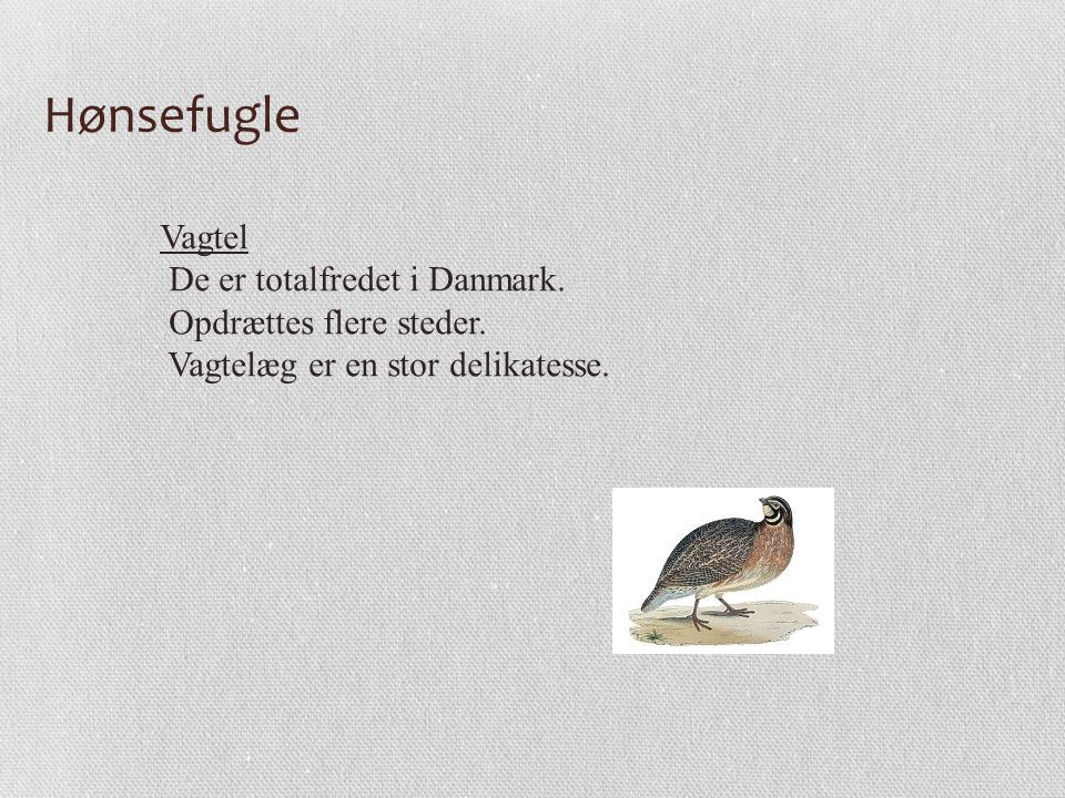 Hønsefugle Vagtel De er totalfredet i Danmark. Opdrættes flere steder.