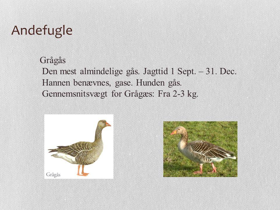 Andefugle Grågås Den mest almindelige gås. Jagttid 1 Sept. – 31. Dec.
