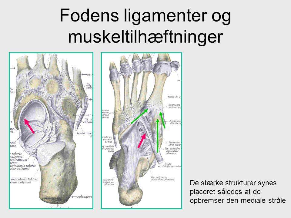 Fodens ligamenter og muskeltilhæftninger