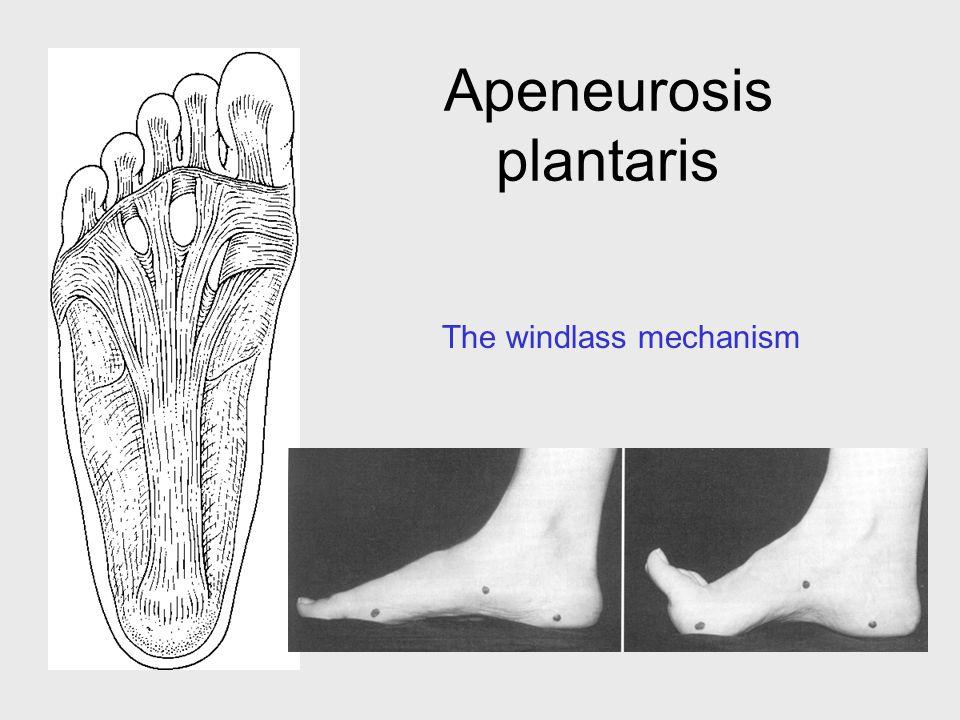 Apeneurosis plantaris