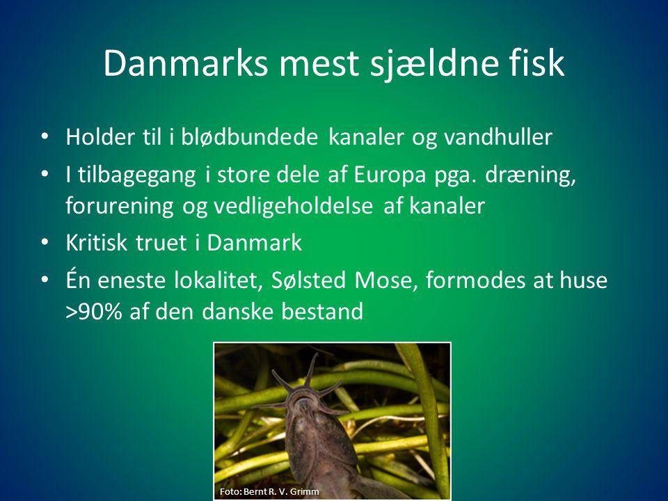Danmarks mest sjældne fisk