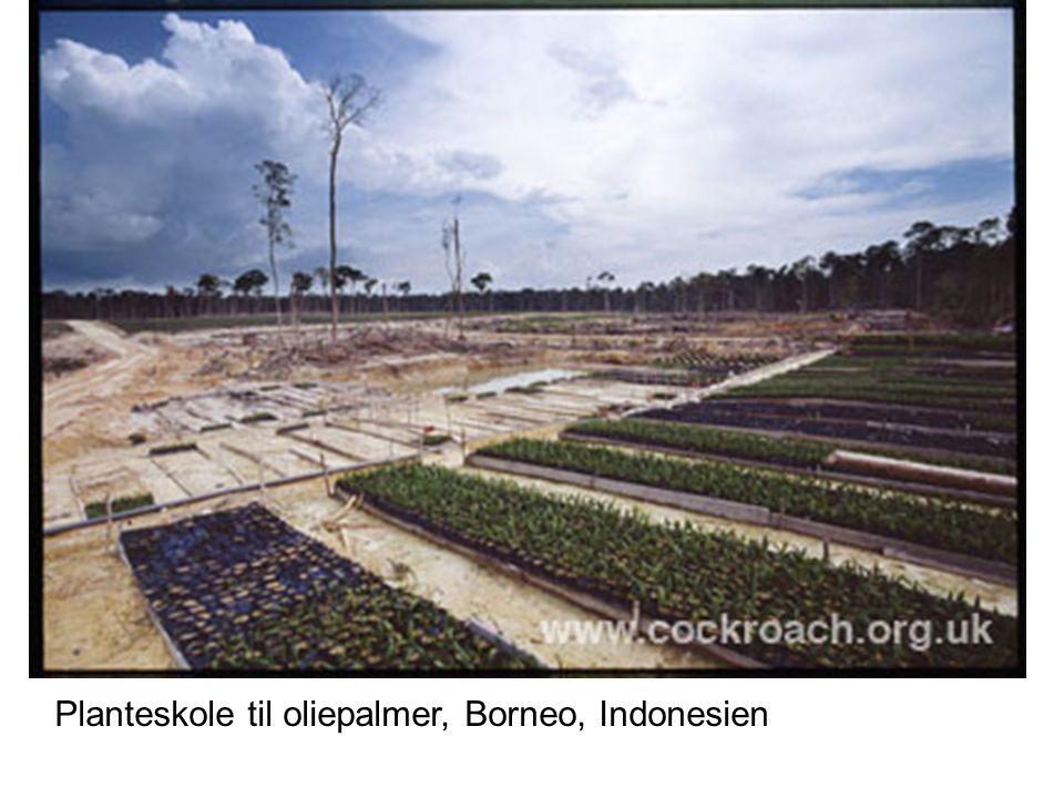Planteskole til oliepalmer, Borneo, Indonesien