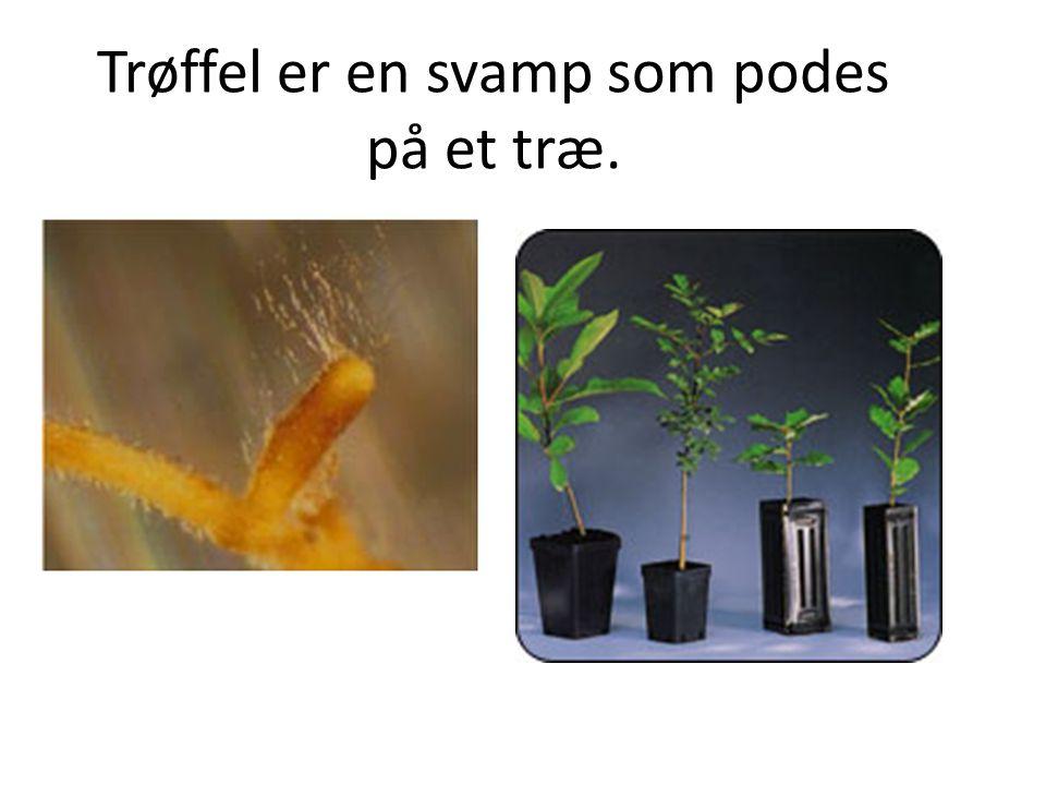 Trøffel er en svamp som podes på et træ.