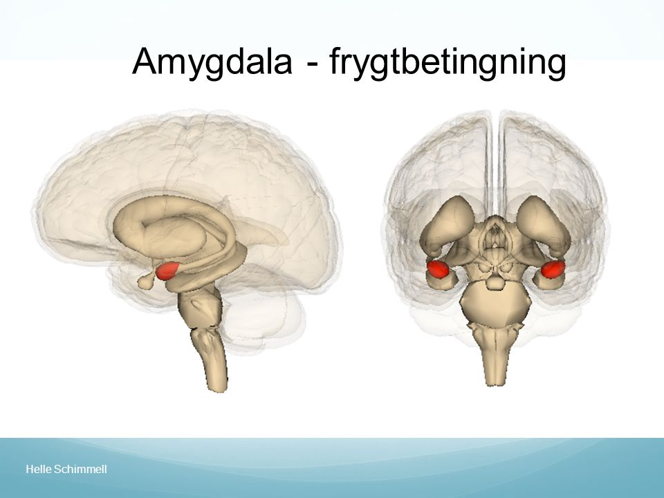 Amygdala - frygtbetingning