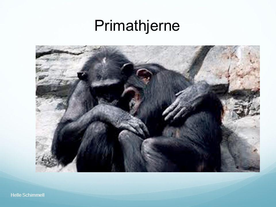 Primathjerne Helle Schimmell