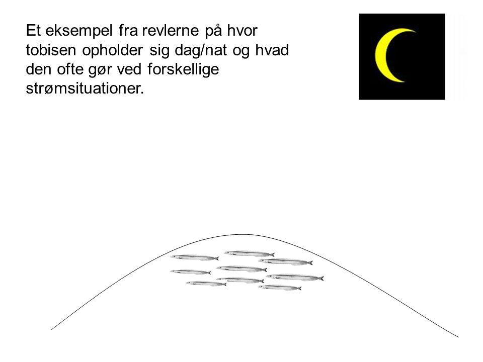 Et eksempel fra revlerne på hvor tobisen opholder sig dag/nat og hvad den ofte gør ved forskellige strømsituationer.