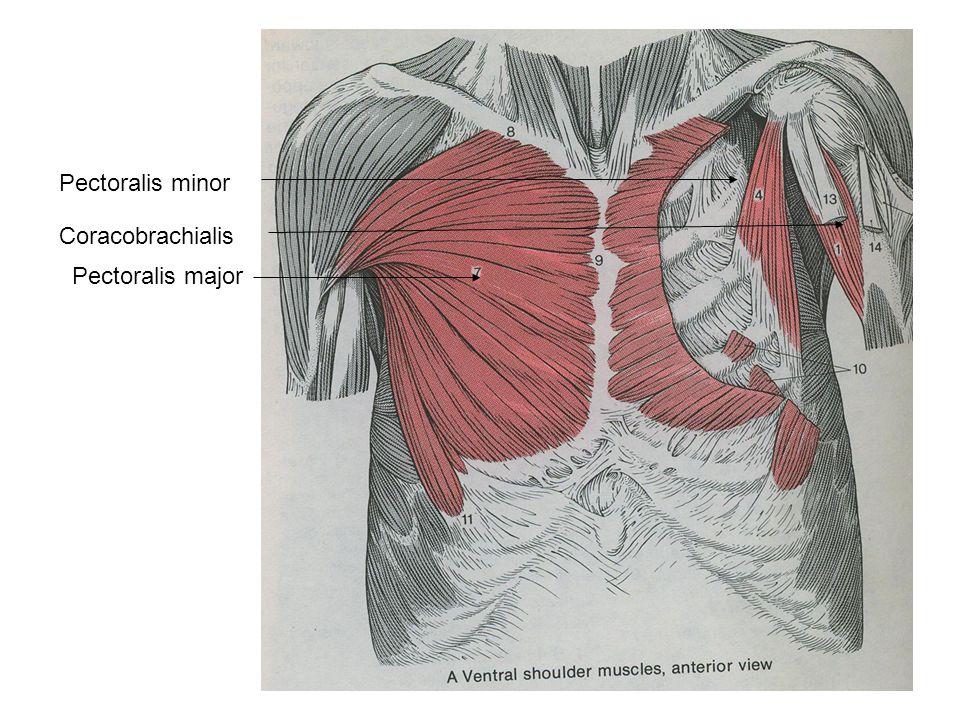 Pectoralis minor Coracobrachialis Pectoralis major