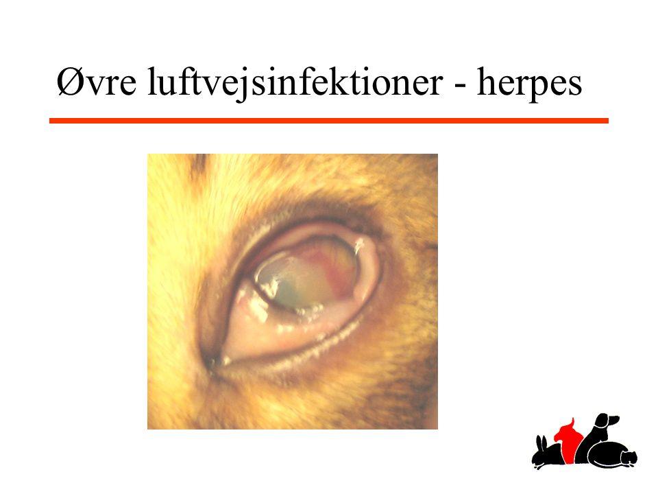 Øvre luftvejsinfektioner - herpes