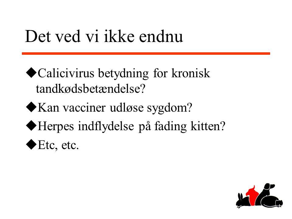 Det ved vi ikke endnu Calicivirus betydning for kronisk tandkødsbetændelse Kan vacciner udløse sygdom
